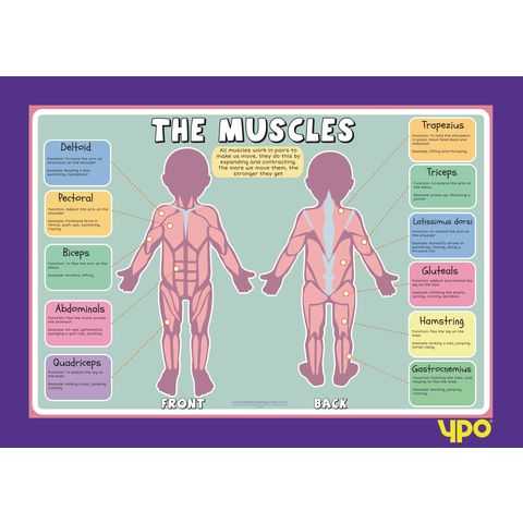 Human Body Muscles Poster. School supplies from teachtastic